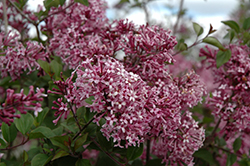 Bloomerang® Purple Lilac (Syringa 'Penda') at Rutgers Landscape & Nursery