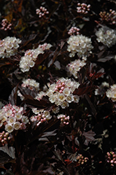 Tiny Wine® Ninebark (Physocarpus opulifolius 'SMPOTW') at Rutgers Landscape & Nursery