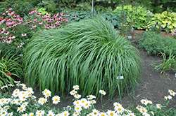 Red Head Fountain Grass (Pennisetum alopecuroides 'Red Head') at Rutgers Landscape & Nursery