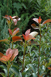 Red Tip Photinia (Photinia x fraseri 'Red Tip') at Rutgers Landscape & Nursery