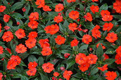 SunPatiens® Compact Orange New Guinea Impatiens (Impatiens 'SunPatiens Compact Orange') at Rutgers Landscape & Nursery