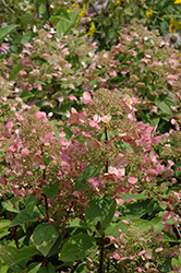 Fire And Ice Hydrangea (Hydrangea paniculata 'Wim's Red') at Rutgers Landscape & Nursery