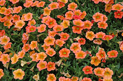 MiniFamous™ Orange Calibrachoa (Calibrachoa 'MiniFamous Orange') at Rutgers Landscape & Nursery