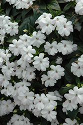 Big Bounce™ White Impatiens (Impatiens 'Balbigite') at Rutgers Landscape & Nursery