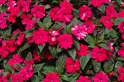 Big Bounce™ Cherry Impatiens (Impatiens 'Balbigbery') at Rutgers Landscape & Nursery
