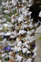 Snow Fountain Weeping Cherry (Prunus 'Snow Fountains') at Rutgers Landscape & Nursery