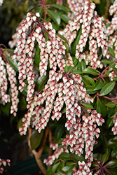 Dorothy Wyckoff Andromeda (Pieris japonica 'Dorothy Wyckoff') at Rutgers Landscape & Nursery