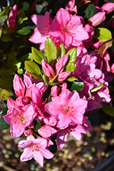 Tradition Azalea (Rhododendron 'Tradition') at Rutgers Landscape & Nursery