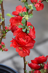 Double Take Scarlet™ Flowering Quince (Chaenomeles speciosa 'Double Take Scarlet Storm') at Rutgers Landscape & Nursery