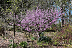 Hearts of Gold Redbud (Cercis canadensis 'Hearts of Gold') at Rutgers Landscape & Nursery