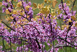 The Rising Sun Redbud (Cercis canadensis 'The Rising Sun') at Rutgers Landscape & Nursery