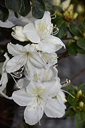 Delaware Valley White Azalea (Rhododendron 'Delaware Valley White') at Rutgers Landscape & Nursery