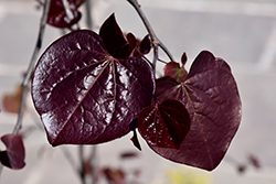 Ruby Falls Redbud (Cercis canadensis 'Ruby Falls') at Rutgers Landscape & Nursery