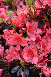 Fashion Azalea (Rhododendron 'Fashion') at Rutgers Landscape & Nursery