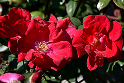 Winner's Circle™ Rose (Rosa 'Radwin') at Rutgers Landscape & Nursery