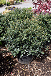Green Lustre Japanese Holly (Ilex crenata 'Green Lustre') at Rutgers Landscape & Nursery