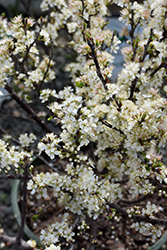 Beach Plum (Prunus maritima) at Rutgers Landscape & Nursery