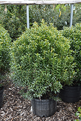Compact Inkberry Holly (Ilex glabra 'Compacta') at Rutgers Landscape & Nursery