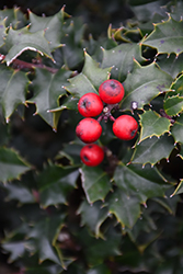 Red Beauty Holly (Ilex 'Rutzan') at Rutgers Landscape & Nursery