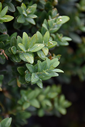 Newport Blue Boxwood (Buxus sempervirens 'Newport Blue') at Rutgers Landscape & Nursery