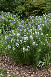 Narrow-Leaf Blue Star (Amsonia hubrichtii) at Rutgers Landscape & Nursery