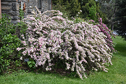 Variegated Weigela (Weigela florida 'Variegata') at Rutgers Landscape & Nursery