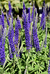 Goodness Grows Speedwell (Veronica 'Goodness Grows') at Rutgers Landscape & Nursery