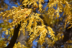 Shademaster Honeylocust (Gleditsia triacanthos 'Shademaster') at Rutgers Landscape & Nursery