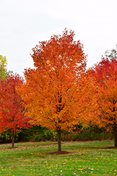 Commemoration Sugar Maple (Acer saccharum 'Commemoration') at Rutgers Landscape & Nursery