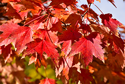 Sun Valley Red Maple (Acer rubrum 'Sun Valley') at Rutgers Landscape & Nursery