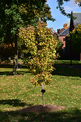 Jordan Full Moon Maple (Acer shirasawanum 'Jordan') at Rutgers Landscape & Nursery