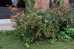 Scarlet Firethorn (Pyracantha coccinea) at Rutgers Landscape & Nursery