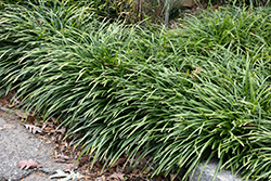 Big Blue Liriope (Liriope muscari 'Big Blue') at Rutgers Landscape & Nursery