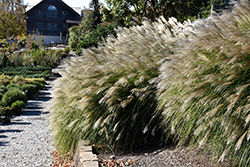 Gracillimus Maiden Grass (Miscanthus sinensis 'Gracillimus') at Rutgers Landscape & Nursery