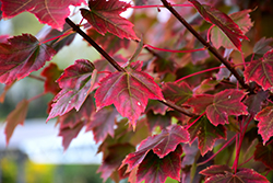 Brandywine Red Maple (Acer rubrum 'Brandywine') at Rutgers Landscape & Nursery