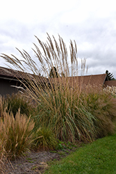 Hardy Pampas Grass (Erianthus ravennae) at Rutgers Landscape & Nursery