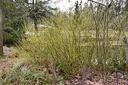 Yellow Twig Dogwood (Cornus sericea 'Flaviramea') at Rutgers Landscape & Nursery