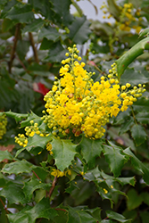 Oregon Grape (Mahonia aquifolium) at Rutgers Landscape & Nursery