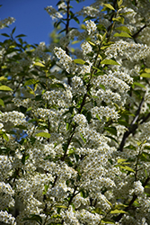 Canada Red Chokecherry (Prunus virginiana 'Canada Red') at Rutgers Landscape & Nursery