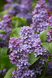 President Lincoln Lilac (Syringa vulgaris 'President Lincoln') at Rutgers Landscape & Nursery