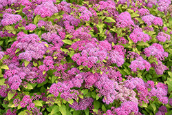 Magic Carpet Spirea (Spiraea x bumalda 'Magic Carpet') at Rutgers Landscape & Nursery