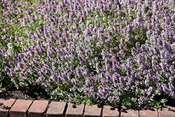 Common Thyme (Thymus vulgaris) at Rutgers Landscape & Nursery