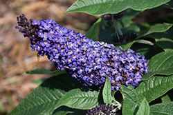Pugster® Blue Butterfly Bush (Buddleia 'SMNBDBT') at Rutgers Landscape & Nursery