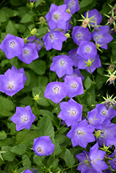 Blue Clips Bellflower (Campanula carpatica 'Blue Clips') at Rutgers Landscape & Nursery