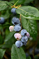 Blue Jay Blueberry (Vaccinium corymbosum 'Blue Jay') at Rutgers Landscape & Nursery