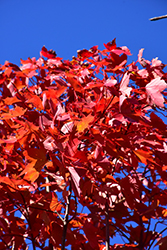 October Glory Red Maple (Acer rubrum 'October Glory') at Rutgers Landscape & Nursery