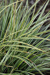 EverColor® Everest Japanese Sedge (Carex oshimensis 'Carfit01') at Rutgers Landscape & Nursery