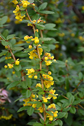 William Penn Barberry (Berberis x gladwynensis 'William Penn') at Rutgers Landscape & Nursery