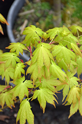 Summer Gold Japanese Maple (Acer palmatum 'Summer Gold') at Rutgers Landscape & Nursery