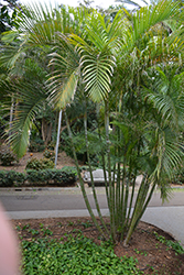 Areca Palm (Dypsis lutescens) at Rutgers Landscape & Nursery